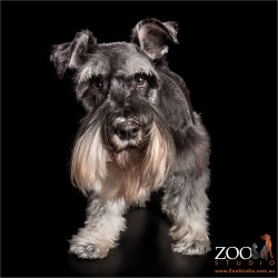 long bearded silver pawed miniature schnauzer