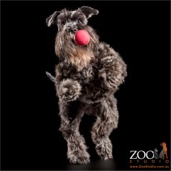 leaping miniature schnauzer catching red ball