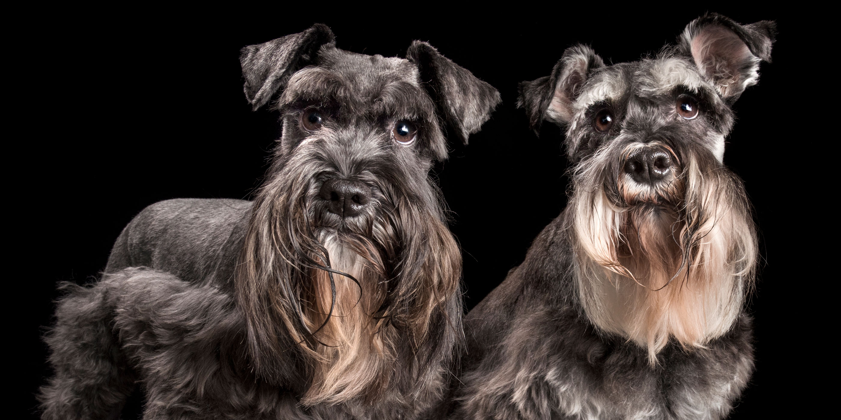 pair of long bearded miniature schnauzer fur brothers