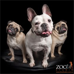 tongue out smiles two pugs and one french bulldog
