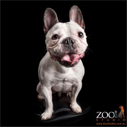 smiling pied french bulldog