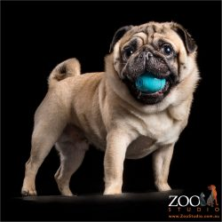 fawn pug with blue ball in mouth