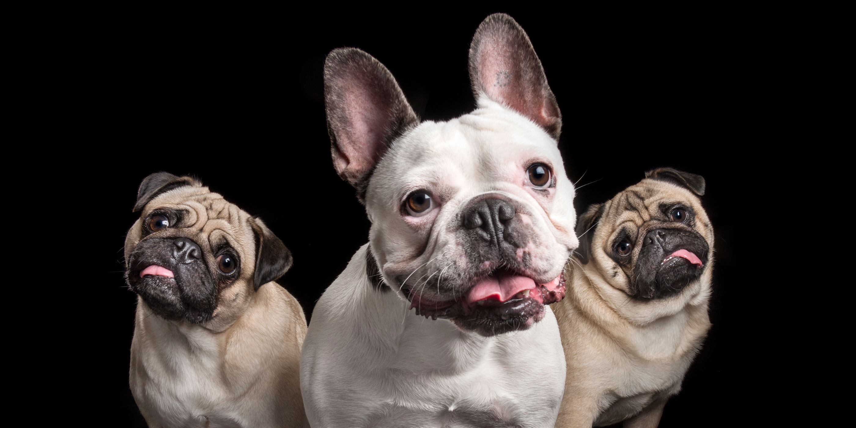 three smiling pals - two pugs and one french bulldog