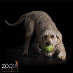 labradoodle pouncing on green ball