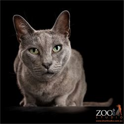 green eyed russian blue crouching cat