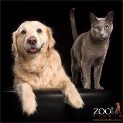 best friends golden retriever and russian blue cat
