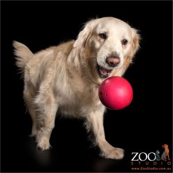 golden retriever chasing big red ball