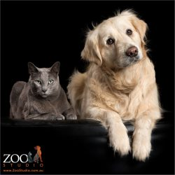 sitting together russian blue cat and golden reriever