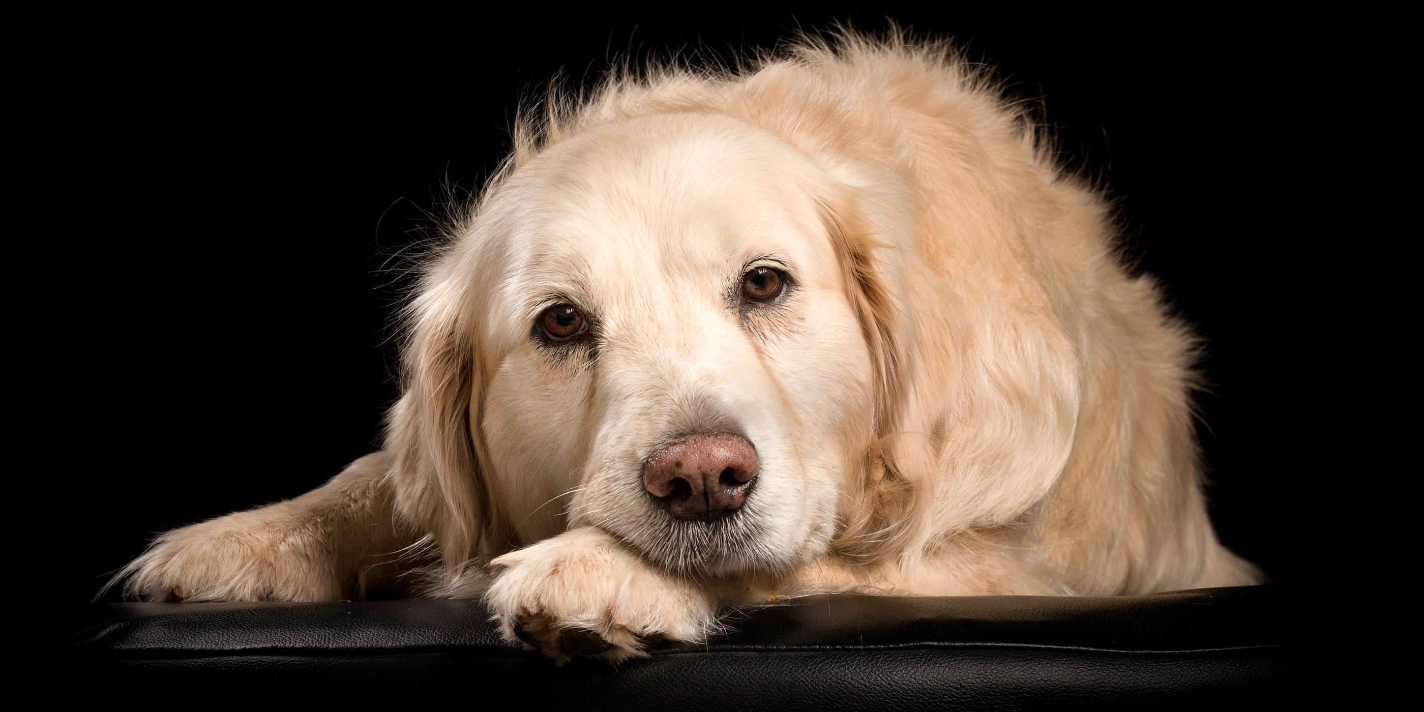 golden retriever head on paw