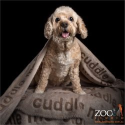 cavoodle wrapped in cuddle blanket