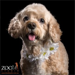 dainty and pretty golden cavoodle