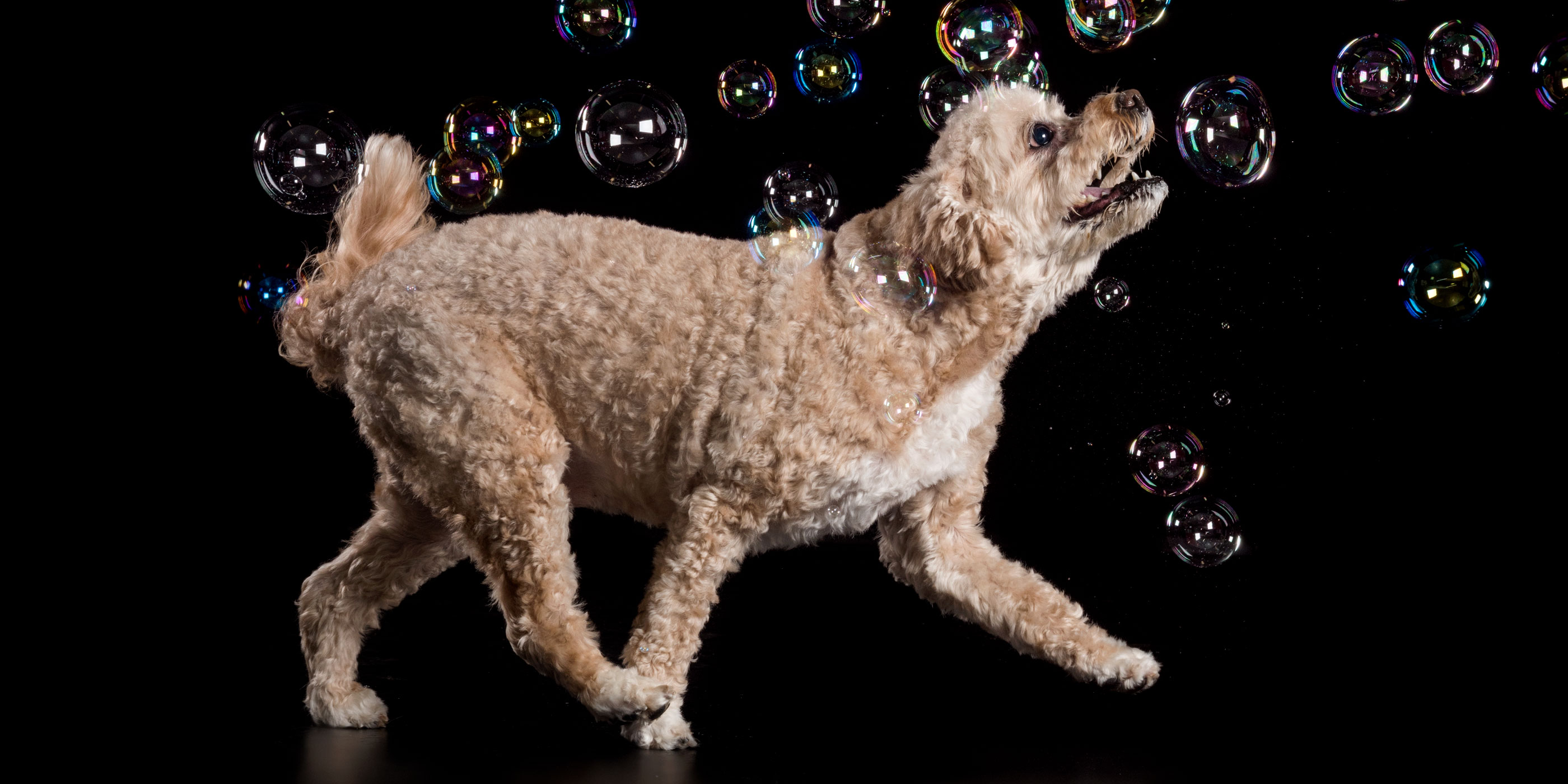 chasing bubbles golden cavoodle