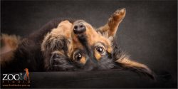 upside down black and tan long haired dachshund