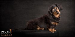 side body profile black and tan dachshund