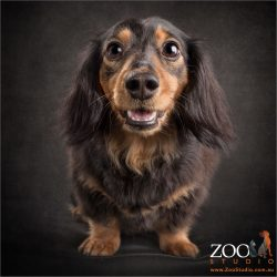 smiling upwards black and tan dachshund