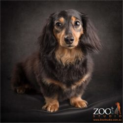 contemplative sit long haired dachshund