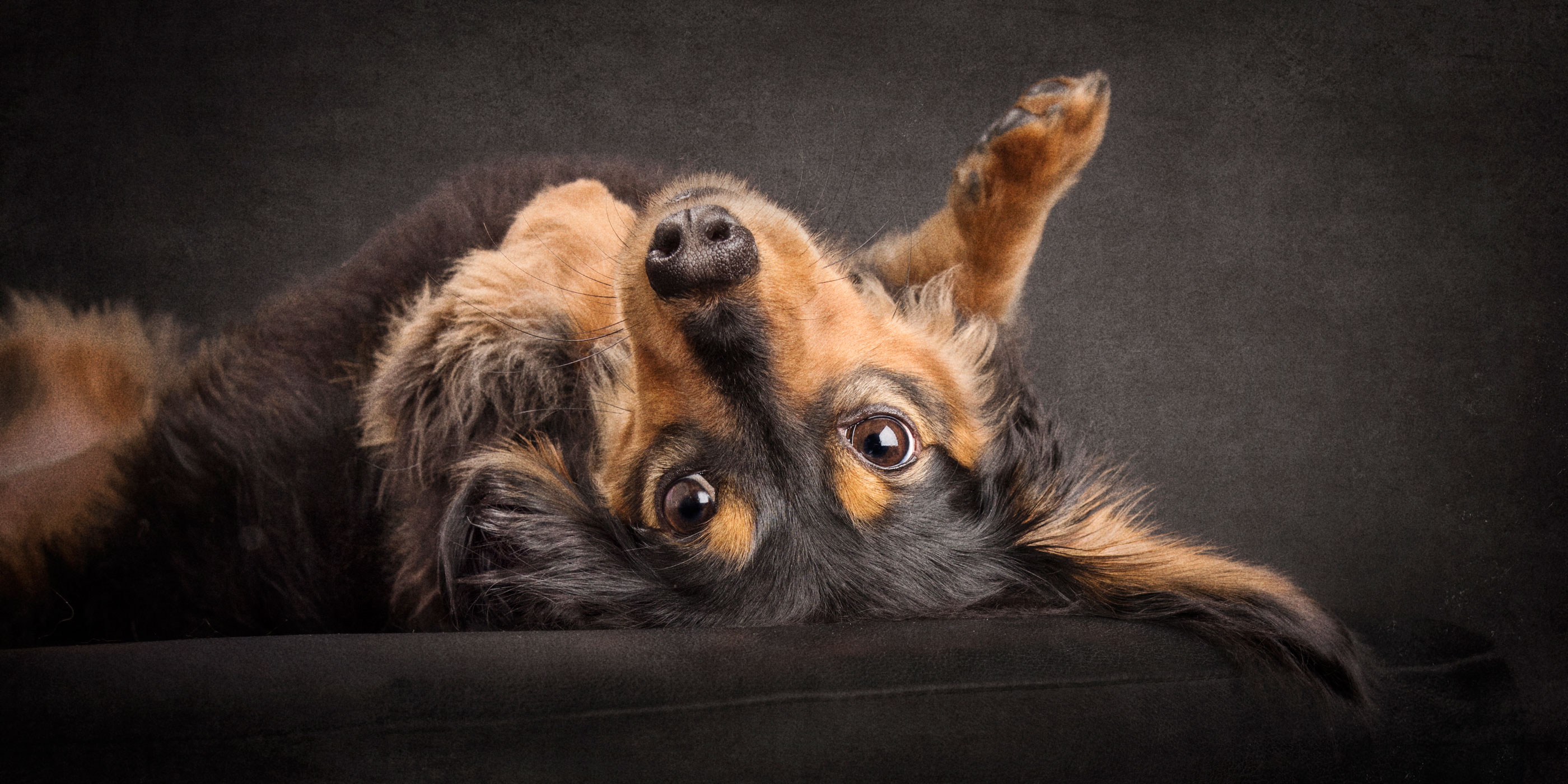 on back legs in air black and tan dachshund