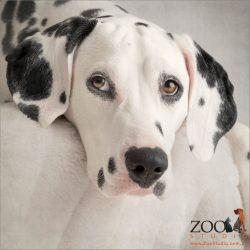 dalmatian with eyeliner eyes