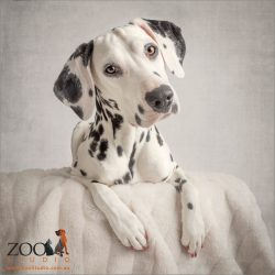 white faced dalmatian sitting serenly