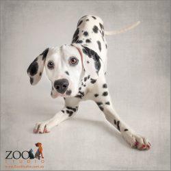 taking a bow dalmatian
