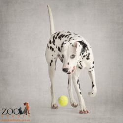 white faced dalmation chasing yellow ball