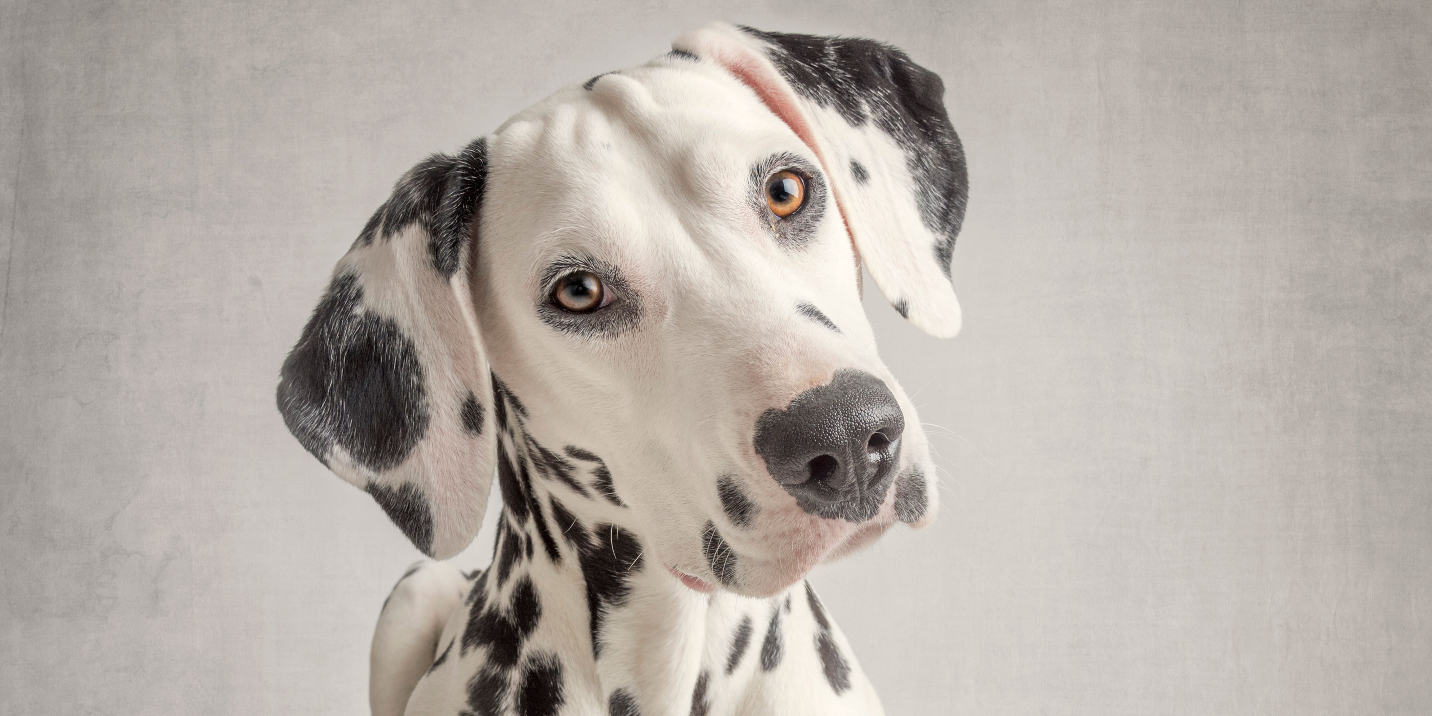 gentle eyed full face view dalmatian