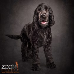 black smiling cocker spaniel