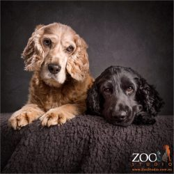 pair of cocker spaniels golden and black