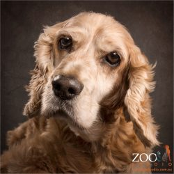 elderly gentleman golden cocker spaniel