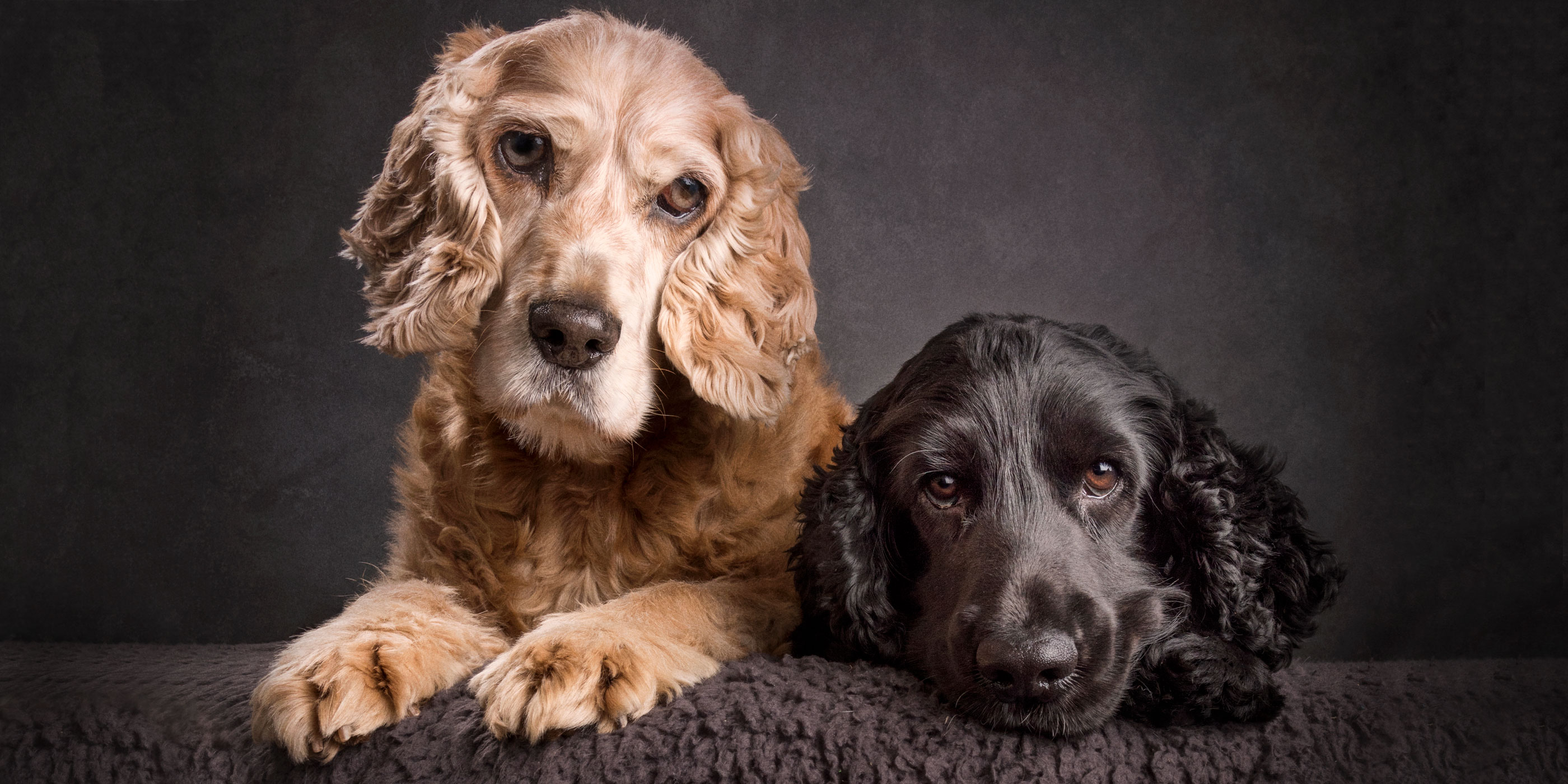 fur brothers golden and black cocker spaniel