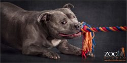 blue staffy tugging on multi-coloured rope