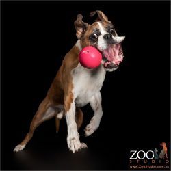 boxer leaping at red ball huge mouth open