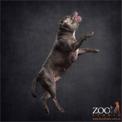 leaping blue staffy