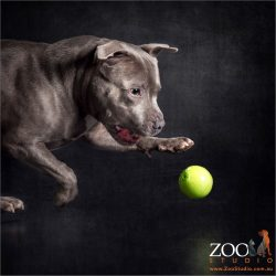 blue staffy about to poince on yellow ball