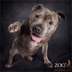 paw-up smiling blue staffy