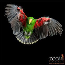 flying ecelctus parrot