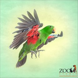flying profile eclectus parrot