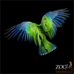 back view of flying eclectus parrot