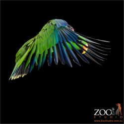 forward wing flap flying eclectus parrot