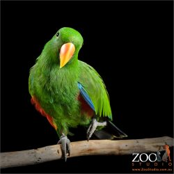 one legged stand on perch eclectus parrot