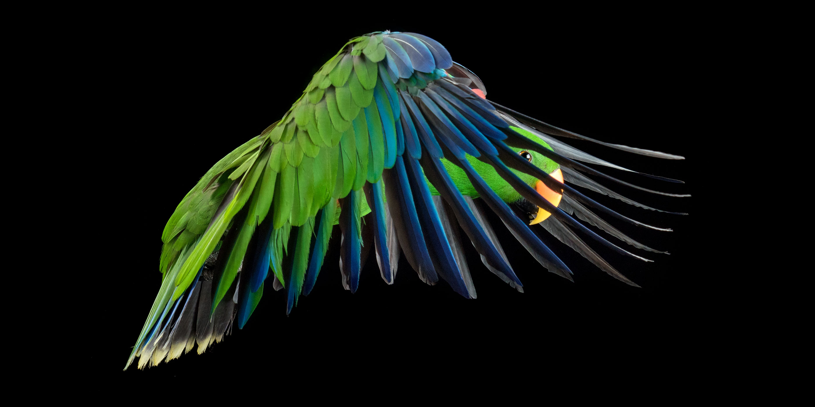 mid flight wings forward eclectus parrot