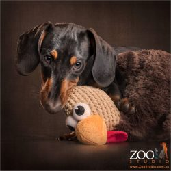 black and tan dachshund pup with knitted chicken in mouth