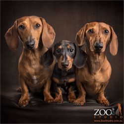 trio of dachshund fur siblings