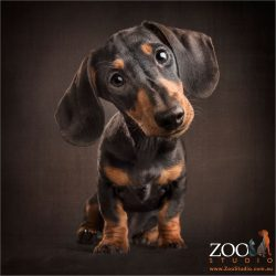 quizzical dachshund black and tan puppy