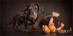 black and tan dachshund puppy with large stuffed toy
