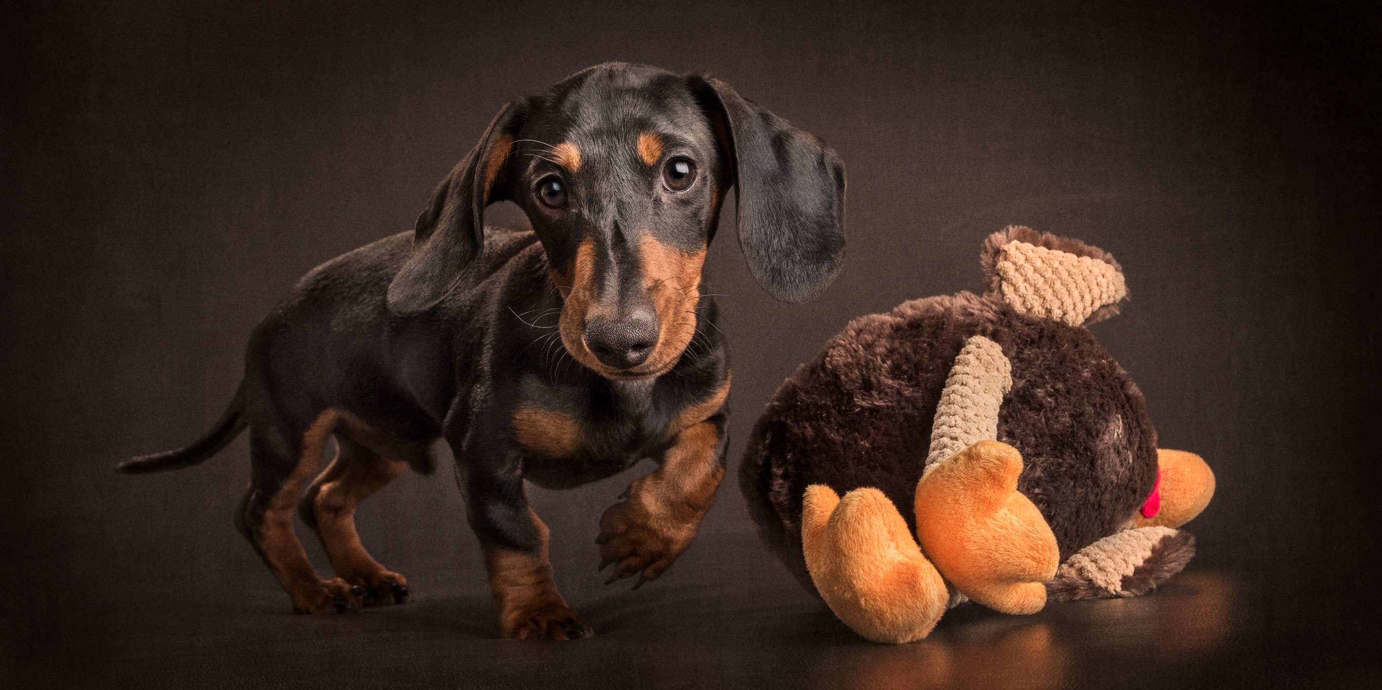 black and tan dachshund running after giant stuffed toy