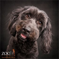 head tilting adorable smile black labradoodle