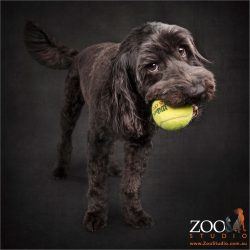 young black labradoodle with big yellow ball in mouth