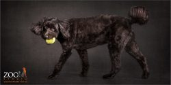 black labradoodle walking with big yellow ball in mouth