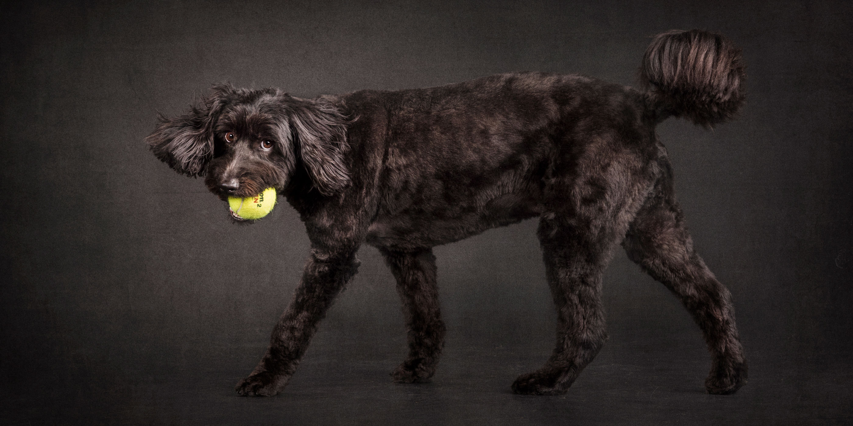 walking labradoodle ball in mouth